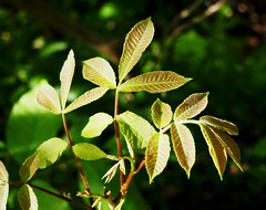 Light on young leaves (pilechko) Tags: newhope leaves pennsylvania bowmanshill light gimp green color