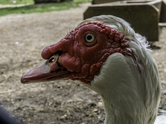 Muscovy duck (Stanlin) Tags: muscovyduck highpark toronto zoo