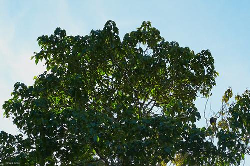 Tree Kangaroo (extreme right)
