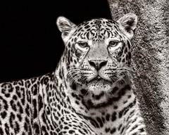 Gaze (Oliver Leveritt) Tags: nikond610 sigma50500mmf4563apodgoshsm oliverleverittphotography sigmabigmaos bigmaos sigmabigma bigma jaguar feline cat houstonzoo zoo blackandwhite monochrome sepia platinum