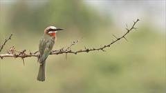 White-fonted bee-eater (Raymond J Barlow) Tags: beeeater africa tanzania wildlife bird travel adventure raymondbarlow phototours