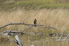 "Northern Harrier • <a style=""font-size:0.8em;"" href=""http://www.flickr.com/photos/63501323@N07/28625904506/"" target=""_blank"">View on Flickr</a>"