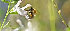 Busy Beeeeeee. (MWBee) Tags: bee stocktonheath warrington cheshire lobelia mwbee nikon d750 macro sigma flowers