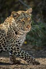 Leopard on the Prowl (spunktitud3) Tags: leopard hunting wildlife animalphotography travel faune tierwelt  africa southafrica wildlifephotography safari adventuretravel gamereserve lopard  mashatu