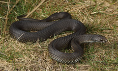 Highlands copperhead snake (Austrelaps ramsayi) (Jordan Mulder) Tags: highlands copperhead snake austrelaps ramsayi highly venomous elapid blue moutains nsw