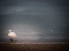Schwan auf Eis (olipennell) Tags: breitenauersee eis schwan see vogel wasser wasservogel obersulm badenwrttemberg deutschland de lake ice bird swan
