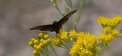 Joy In Simple Things (harefoot1066) Tags: asteraceae hymenothrix hymenothrixwislizeni transpecosthimblehead lepidoptera papilionoidea hesperiidae pyrginae erynnis erynnisfuneralis funerealduskywing
