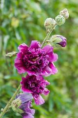 Garden Flower