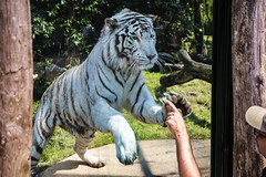 Play with the tiger 5 (Rolf Piepenbring) Tags: tiger weisertiger wittetigger whitetiger zoooverloon