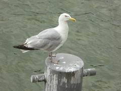 Seagull (stillunusual) Tags: paris france seagull gull seine riverseine river nature urbannature wildlife urbanwildlife travel travelphotography travelphoto travelphotograph 2016