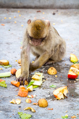 A Barbary macaque in the middle of a meal (TimOve) Tags: vacation ferie trip summer sommer barbarymacaque rockape monkey gibraltar therock meal apples potatoes carrots furry