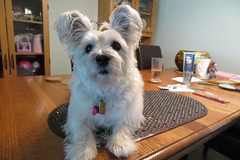 I was wondering... (Dotsy McCurly) Tags: ruffy cute dog cairnterrier wondering face quizzical look dining room table haircut bangs brush teeth canon powershot nj
