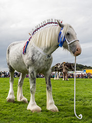 Penistone Show 2016_ (Nick Hillman...) Tags: penistone show 2016 horse shire yorkshire equestrian grey