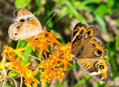 A pair of Buckeyes (ScreaminScott) Tags: butterfly buckeyebutterfly insect butterflyweed