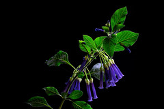 Beautiful bells (mysticislandphoto) Tags: flower bush blue bells vancouver island garden artistic flowers floral fantasy floralfantasy vancouverisland doublefantasy