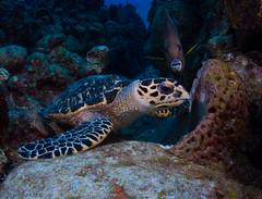 Angelfish Photobomb! (jcl8888) Tags: nikon d7200 turtle hawksbill nauticam cayman tokina 1017mm scuba diving