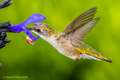 Ruby-throated Hummingbird and a little friend (danielusescanon) Tags: rubythroatedhummingbird archilochuscolubris wild flower nectar redinsect bif brooksidegardens maryland birdperfect animalplanet bird