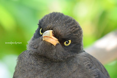 Jungle Myna (TAIWAN) ~  ~ (woodpeckerian) Tags: bird nature animal nikon wildlife cute eye 200500mm taiwan angry explore