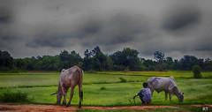 Cambodia -  cows2 (Rui Trancoso) Tags: cambodia countryside cows market green service