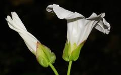 Hedge Bindweed 140816 (Richard Collier - Wildlife and Travel Photography) Tags: flora flowersenglishflowers flowers wildflowers macro macroonblack british hedgebindweed white