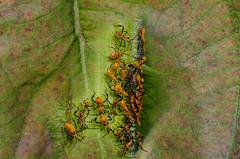 Peek Through (Doug NC) Tags: leptoglossusphyllopuslinnaeus bug insect red orange legs nymph nikond7000 nikkor50mm18 peek takeapeek checkitout