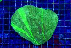 SKU 126_3668 (Exotic Sealife International) Tags: gmp chalice favia exotic sealife international saltwater corals rainbow leptastrea leptoseris lobophyllia symphyllia