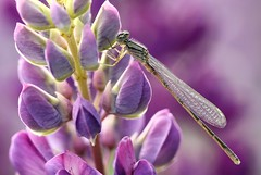 Damselfly on Lupin (Karen_Chappell) Tags: damselfly insect nature macro purple lupin flower floral newfoundland nfld wildflower bokeh pastel small