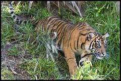 Sumatran Tiger Cub (KRIV Photos) Tags: sandiego sumatrantiger tiger wildanimalpark animal