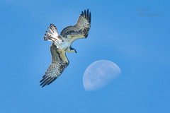Osprey to the Moon (Philip Magallanes) Tags: birds bird animals wildlife