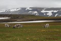 Spitzbergenrentiere, NGID2096229563 (naturgucker.de) Tags: ngid2096229563 naturguckerde ren rangifertarandus 2051804545 cheikespringer