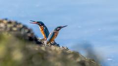 Spuikom - 23 september 2016 - 056 (Frederic_P.) Tags: alcedoatthis ijsvogel commonkingfisher martinpcheurdeurope eisvogel sigma150600contemporary