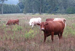 Cowes cowes cowes (a56jewell) Tags: a56jewell cows cow field group summer pasture aug brown white