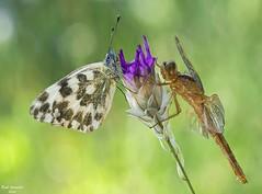 Biodiversidad (raulgranados) Tags: ngc original pareja bokeh flor macro liblula mariposa