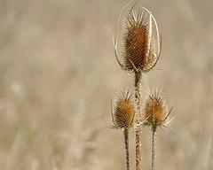 il cardo dei lanaioli (fotomie2009 OFF) Tags: dipsacus sativus sylvester cardo dei lanaioli seed head flora dry secco cardodalanajoli teasel teazel teazle dried fullonum fullersteasel