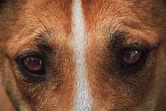 Ojos perros (Nicols Letelier V.) Tags: t3 canon 70300 sigma macro ojos pets mascotas eos rebel perros