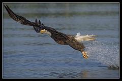 Outstretched.... (DTT67) Tags: eagles baldeagle bald eagle raptors birds bif nationalgeographic nature wildlife canon 1dxmkii