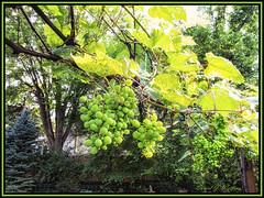 GrapeShine (danielgweidner) Tags: landscape nebraska omaha photoart s120 summer venditte grapes fruit foliage sunshine afternoon nik nikcolorefx nikviveza photoshopcs6 lightroom5 digitalphotography