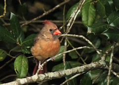 Northern Cardinal, female (hennessy.barb) Tags: cardinal northerncardinal femalecardinal bird red perched