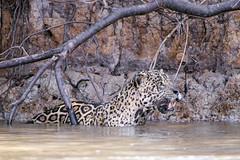 Jaguar standing in the water (Tambako the Jaguar) Tags: jaguar big cat male waiting standing water surface river shore sand bank branches hunting wildanimal wild wildlife nature pantanal matogrosso brazil nikon d5