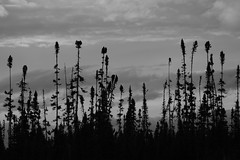 Northern forms (Craig Waythomas) Tags: boreal ecogitelacmatagami silhouette bw northern black spruce harsh climate