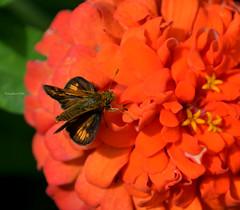 IA56-Peck's skipper (justkim1106) Tags: nature flower zinnia orange skipper butterfly iowa bickelhauptarboretum