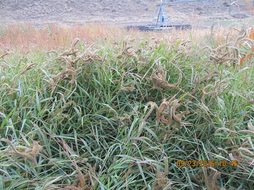 setariaverticillata hookedbristlegrass poaceae paniceae warmseason introduced annual bunchgrass disturbedsite wetsite montanafishwildlifeandparks pompeyspillar yellowstonecounty montana
