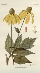 Anglų lietuvių žodynas. Žodis rudbeckia laciniata reiškia <li>rudbeckia laciniata</li> lietuviškai.