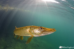 28septembre2016_23 (Plongeur1968) Tags: brochet pike underwaterphotography plonger plonge photographie sousmarine