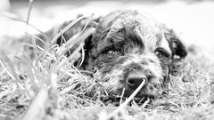 Mudi Puppy 1. Picture (Markus Jaschke) Tags: fujixt1 1855 mudi puppy dog welpen sw monochrome mono