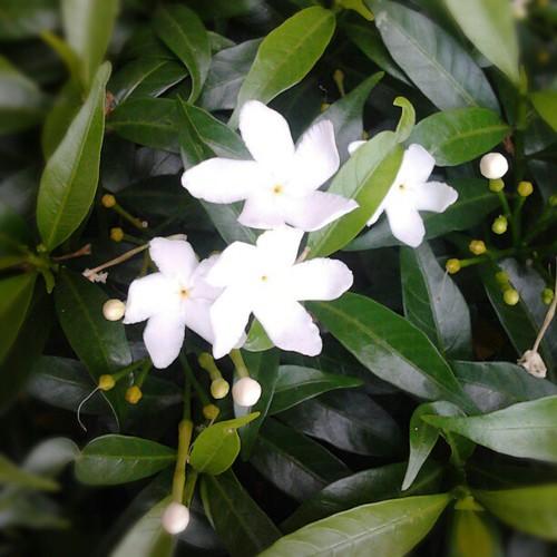 Gambar Bunga Yang Berwarna Putih - Kumpulan Gambar Bunga