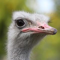 Vogel Strauß - Ostrich (ho.ge) Tags: bird zoo stuttgart ostrich vogel wilhelma straus naturesfinest thegalaxy top25naturesbeauty