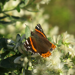 red admiral (leckavrea) Tags: red butterfly rye admiral marshlands