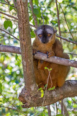 Red-fronted lemur (Eulemur rufifrons) (65north) Tags: africa bird sweden wildlife lemur chameleon madagascar lulea isalo lule anjapark redfrontedlemur leifjonsson eulemurrufifrons leifjnsson madagaskar2012isalo