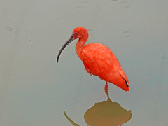 Guar Rubra (Arimm) Tags: red cold reflection bird wet rain brasil scarlet grey overcast ibis rubra ruber eudocimus fz40 arimm guarrubra